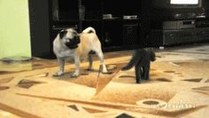 This kitten who underestimated the size of this pug. | 28 Cats Having A Way Worse Day Than You