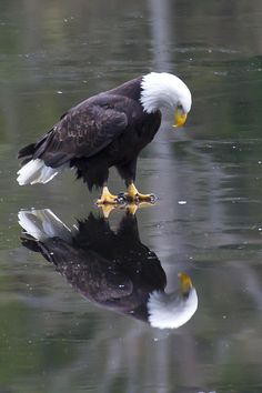 """Eagle on Ice"" ~ Photo by James Geddes: ""This eagle seems to be pondering his reflection in the ice. What is he thinking? !IEC"