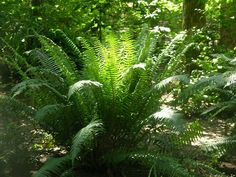 How to Divide Ferns to Create a Woodland Garden The Wild Garden Hansens Northwest Native Plant Database intended for How to Divide Ferns to Create a Woodland Garden Shade Garden, Garden Plants, Potted Plants, Christmas Fern, Christmas Gifts, Landscape Design, Garden Design, Landscape Architecture, Fullerton Arboretum