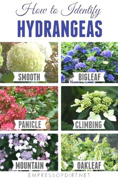 for Growing Hydrangeas What Kind of Hydrangea is this? There are 49 species of hydrangeas. These 6 types are commonly grown in CanadaWhat Kind of Hydrangea is this? There are 49 species of hydrangeas. These 6 types are commonly grown in Canada Pruning Hydrangeas, Types Of Hydrangeas, Hydrangea Landscaping, Yard Landscaping, Planting Flowers, When To Prune Hydrangeas, Landscaping Design, Caring For Hydrangeas, Flower Gardening