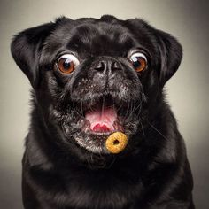 German photographer Christian Vieler-Kircher loves to photograph dogs and his latest work called 'Fotos Frei Schnauze' features adorable pups as they attempt to catch treat mid-air. Love Dogs, Pug Love, Animals And Pets, Funny Animals, Cute Animals, Silly Dogs, Funny Dogs, Dog Photos, Dog Pictures