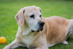 yellow labrador is my favorite