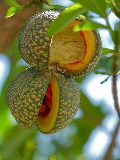 Toad-tree (Tabernaemontana elegans) fruit