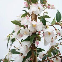 camellia_rosthorniana_cupido_
