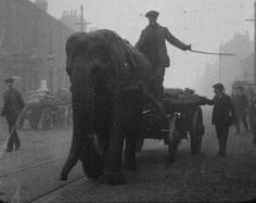With so many horses were enlisted in WW1, Lizzie the elephant was used to cart munitions in Sheffield