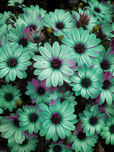 Blue Flowers Photograph - Daisies Poppin Blue by Flower Bomb My Flower, Pretty Flowers, Daisy Flowers, Colorful Flowers, Beautiful Flowers Pics, Purple Flowers, Unique Flowers, Flower Art, Daisy Daisy