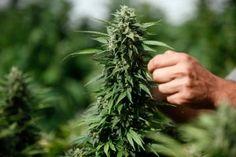 marijuana great hbtv hemp beach tv