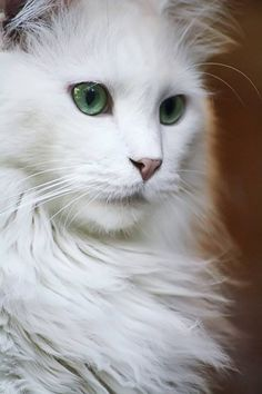 Wow! This kind of beautiful kitty would have an operatic voice. The arias would be fantastic.