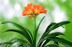 Clivia are endemic to southern Africa, meaning that they do not occur naturally anywhere else in the world! National Botanical Gardens, Colorful Plants, Growing Seeds, Poinsettia, Green Leaves, Flower Arrangements, Flora, Berries, Gardening