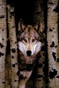 A wolf at home