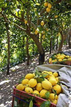 Récolte des citrons Photo  Alamy