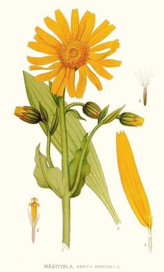Arnica montana - best in salves and ointments to treat bruises - vulnerary, antibacterial, anti-inflammatory