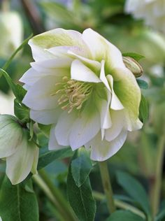 Helleborus (winter)      via Nathalie Peters