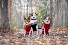Jack Russell Terriers by Heavenly Pet Photography #dogs #picture #loveit