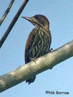 Melancholy Woodpecker Dendropicos lugubris - Google Search