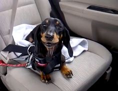 Sasha loves car rides, but has strong feelings about the back seat of the car as she demonstrates in this cute video.