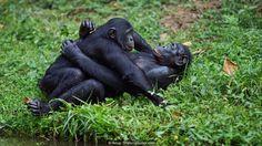 Bonobos (Pan paniscus) mating (Credit: Anup Shah/naturepl.com)