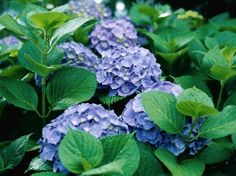 How to Grow Hydrangeas in Arizona----Bigleaf hydrangeas have blue flowers in acidic soil, and pink flowers in alkaline soils.