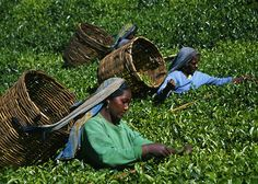 tea plantations in the central hill country ... Nuwara Eliya, Sri Lanka