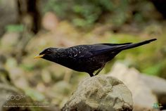 Blue Whistling Thrush by MuhammadKashifSaleem #architecture #building #architexture #city #buildings #skyscraper #urban #design #minimal #cities #town #street #art #arts #architecturelovers #abstract #photooftheday #amazing #picoftheday