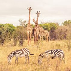 It seems like giraffes are a lot more curious than zebras. Giraffes, Zebras, Filmmaking, Around The Worlds, Instagram Posts, Animals, Cinema, Animales, Animaux