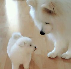 Samoyeds, just look at that little tongue! Mais
