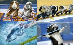 olympic guinea pics :D