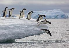 Penguin Dominoes - Nature's Rube Goldberg Machine