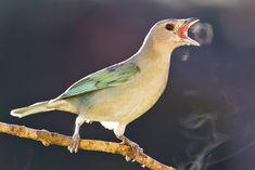 Photo Sayaca Tanager (Tangara sayaca) by Sergio Gregorio   Wiki Aves - The Encyclopedia of Brazilian Birds