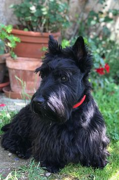 Dog Breeds Little, Cute Dogs Breeds, Best Dog Breeds, Scottish Terrier Puppy, Bull Terrier Dog, Baby Dogs, Dogs And Puppies, Terrier Breeds, Labrador Retriever Dog