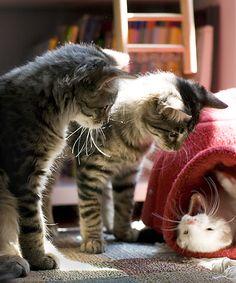 #cat #kitten #animal #cute #ferret