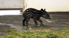 Endlich rüsselt wieder ein Tapirchen durch den Leipziger Zoo! Mama Laila brachte am Mittwoch ein Jungtier zur Welt.