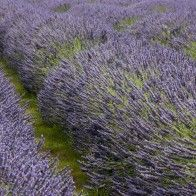 Lavender farm outside Kaikoura, New Zealand South Island, New Zealand, Lavender, Destinations, Travel Destinations
