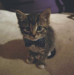 ohmygoodness. this kitten is wearing a bow tie.
