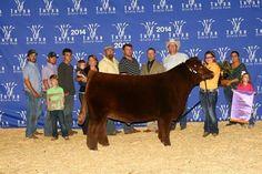 Tulsa Grand Steer, Sure Champ Customer Lauren Bilderback!