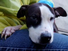 ⚠️⚠️TO BE DESTROYED - 04/10/14  Manhattan Center -P   My name is RABBIT. My Animal ID # is A0995257.  I am a male black and white pit bull mix. The shelter thinks I am about 1 YEAR 1 MONTH old.   I came in the shelter as a STRAY on 03/30/2014