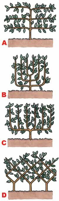 How to Espalier: Instructions from BHG --  Espalier, the art of training a tree or shrub against a wall, is one way to enhance a courtyard wall or other exterior surface.