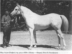 Aswan (EG) 1958 Straight Egyptian stallion. Nazeer {Mansour x Bint Samiha by Kazmeen} x Yosreia {Sheikh El Arab x Hind by Ibn Rabdan } Gifted to Russia by the Egyptians for their help in building the Aswan dam in 1963, consequently renamed Aswan as a mark of respect. Bred by EAO and owned by Tersk State Stud, SU. Aswan sired 184 foals, there are very few still alive, but in 2014 at Tersk, a colt, Apollon Tersk x Pelopia by Piligrim has been born by AI using frozen semen.