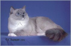 blue point mitted ragdoll cat