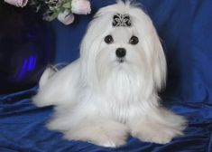 Silver Brook Maltese near Erie, PA offers well-bred Maltese puppies for pets or show. Visit our website to view our puppies. All Dogs, I Love Dogs, Best Dogs, Cute Dogs, Dogs 101, Awesome Dogs, Adorable Puppies, Adorable Animals, Maltese Dogs