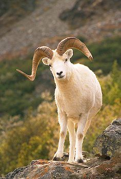 """""""I looked up, and there before me was a ram with two horns, standing beside the canal, and the horns were long. One of the horns was longer than the other but grew up later."""" Daniel 8:3"""