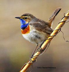 Guşă vânătă 2d, Birds, Animals, Inspiration, Biblical Inspiration, Animales, Animaux, Bird, Animal
