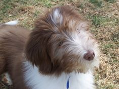 sweet baby faye bearded collie