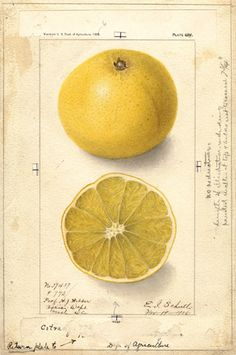 Ellen Isham Schutt was an early 20th-century American botanical illustrator for the U.S. Department of Agriculture.