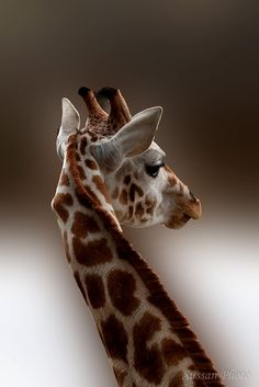 One of my first pictures of an giraffe in a zoopark.