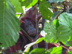 Orangutan and wildlife observation at Bukit Piton in Lahad Datu. This is a class forest reserve and is home to the Orang Utan and other Borneo wildlife Borneo Rainforest, Orangutans, How To Memorize Things, Wildlife, Adventure, Animals, Animales, Animaux, Adventure Game