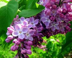 Lilac's