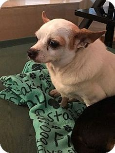 Chihuahua Mix Dog for adoption in Venice, Florida - Chiqui is12 yrs. old & on 2 medications for a heart condition which is under control. Chiqui is available at True & Faithful Pet Rescue Mission.