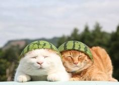 Shiro & sibling with watermelon helmets on! *