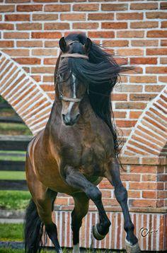 Horse named 'Principe de La Macarena'.